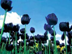 рождение тюльпана