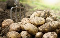 Примечания о картофеле